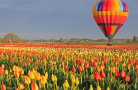 Oregon Tulip Fest Rises to Occasion